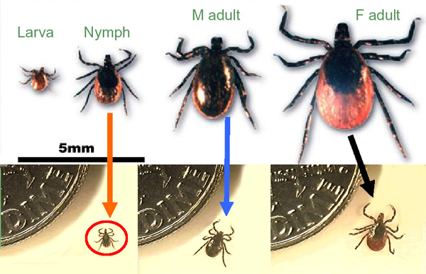 Deer tick life stages.